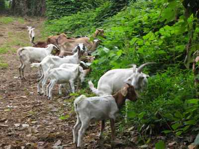 goats article_92170_large.jpg